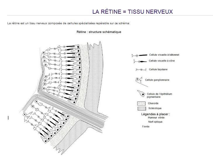 coupe de la retine