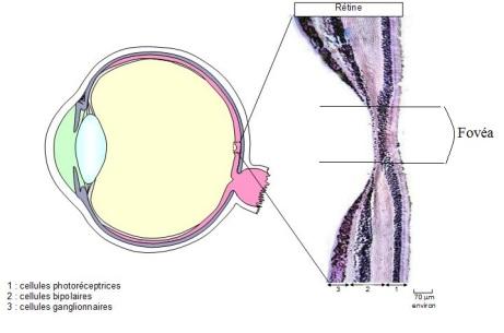 retine au niveau Fovea