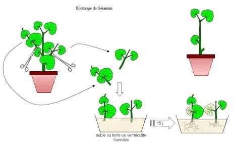 bouturage geranium