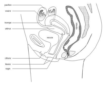 coupe feminin transversale