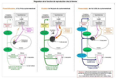 cycle de reproduction chez la femme